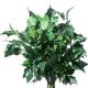 Hedera Arborea